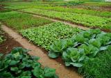 蔬菜如何科学施用锌肥