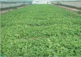 芥菜的田间管理方法