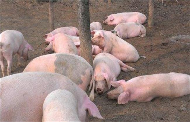 新手养猪需要注意什么