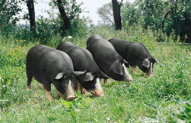 黑猪 养殖 日常管理