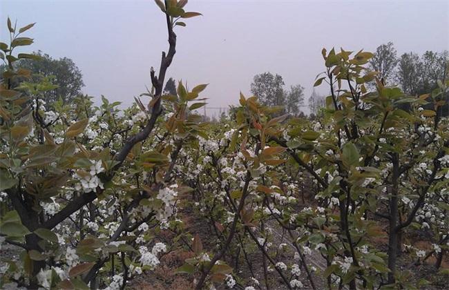 梨树 二次开花 怎么办