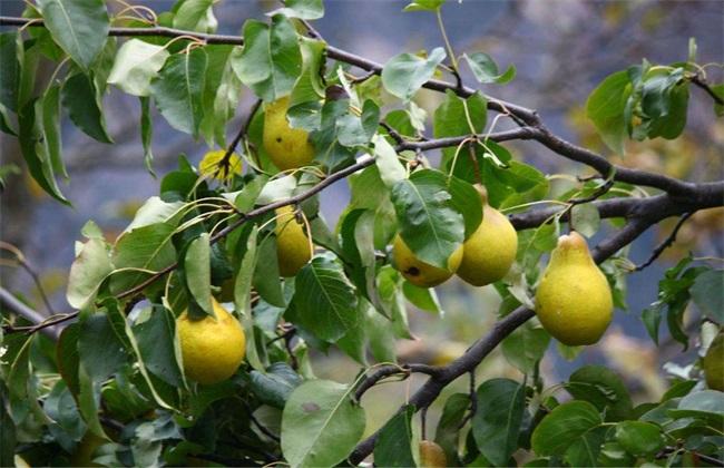 梨子种植的果园管理