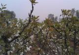梨树二次开花怎么办