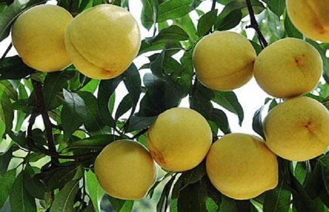 黄桃怎么种