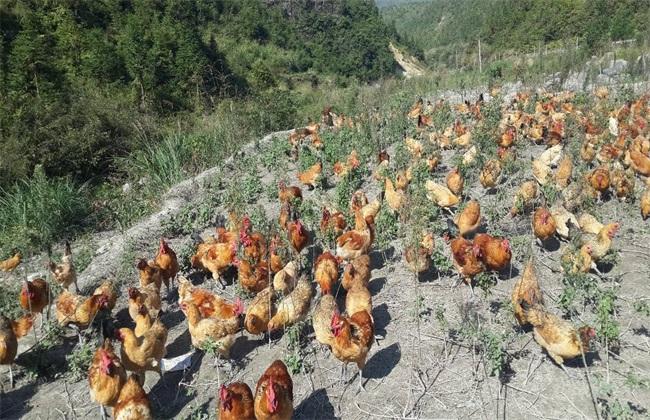 如何降低养鸡成本