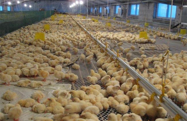 如何 降低 养鸡成本