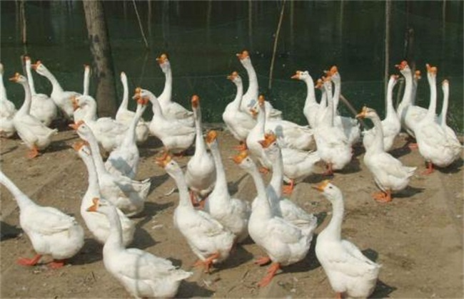 怎么提高鹅蛋产量