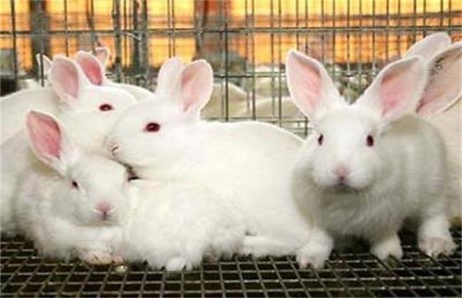 如何挑选种兔