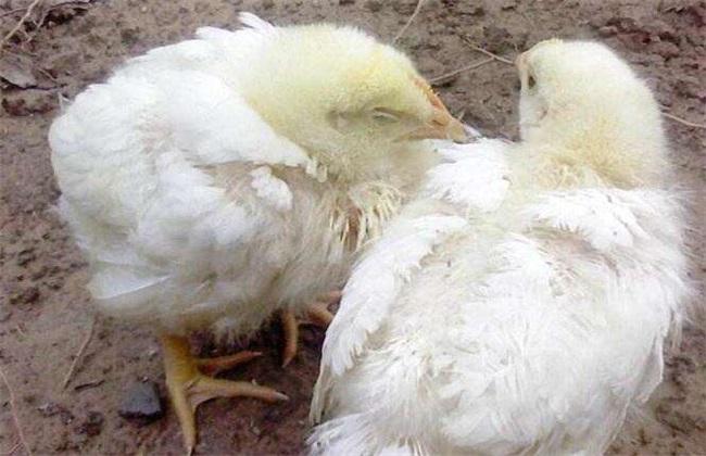 鸡新城疫的防治方法