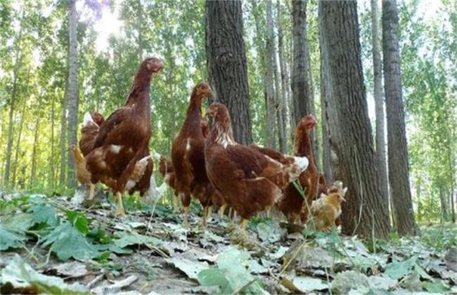 蛋鸡放养的方式