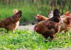 生态养鸡技术