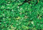 黄连的病虫害防治方法