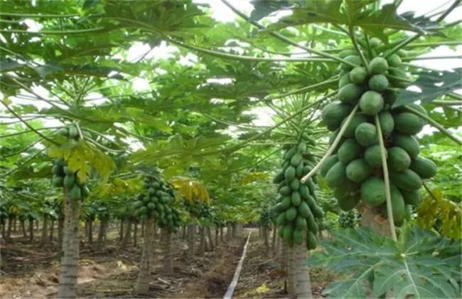 番木瓜 种植 方法