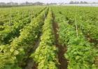 蓝宝石葡萄怎么种