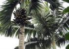 槟榔和橄榄有什么区别