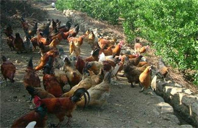 林下养鸡有什么好处