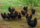 乌鸡养殖注意事项