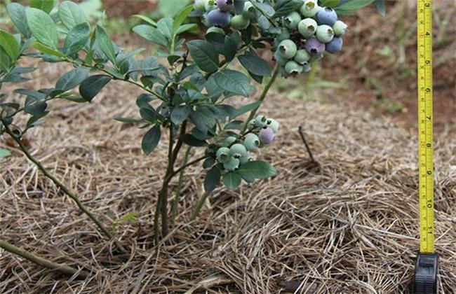 蓝莓越冬防寒技术