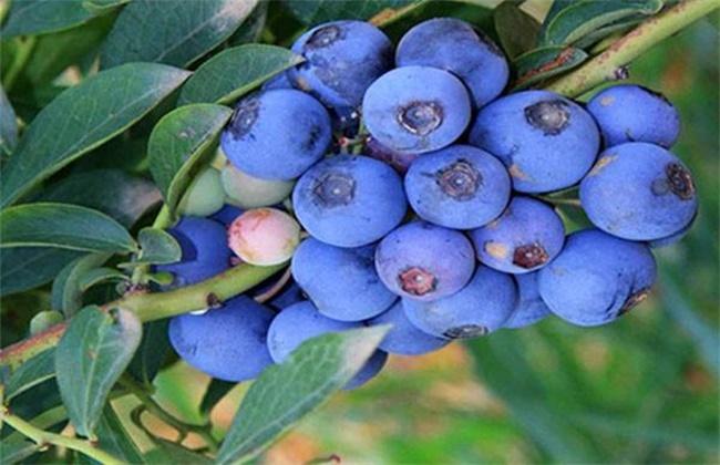 蓝莓多少钱一斤