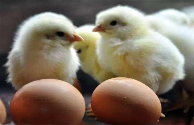 蛋鸡 产蛋期 管理要点