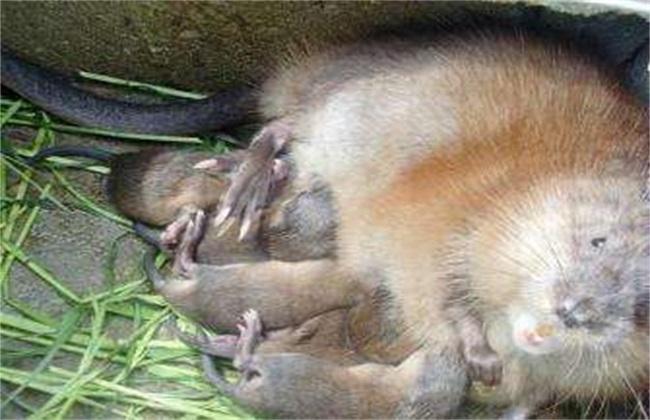 麝香鼠 养殖 技术