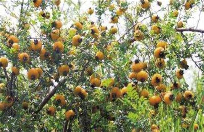刺梨的病虫害防治方法