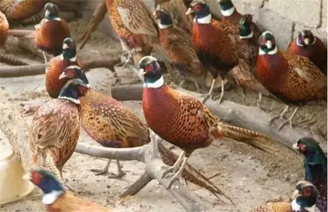 冬季 养野鸡 注意事项