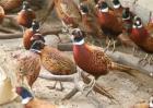 冬季养野鸡注意事项