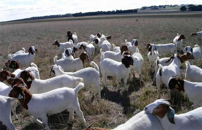 冬季养羊的注意事项