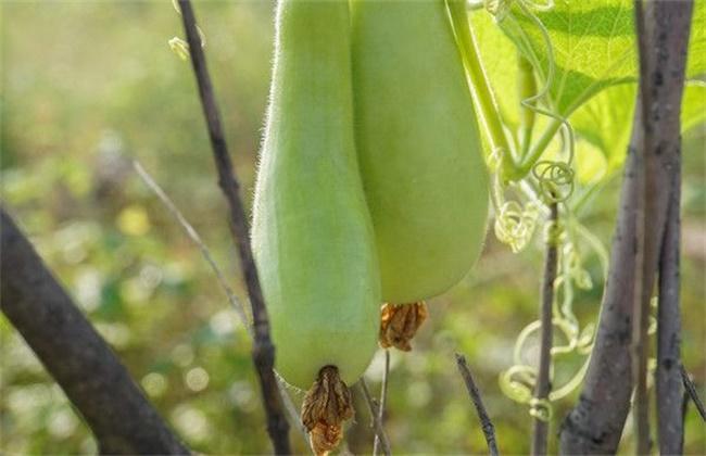 西葫芦畸形瓜的原因及防治方法