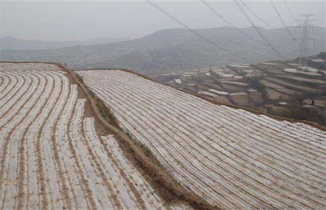 玉米 覆盖地膜 田间管理
