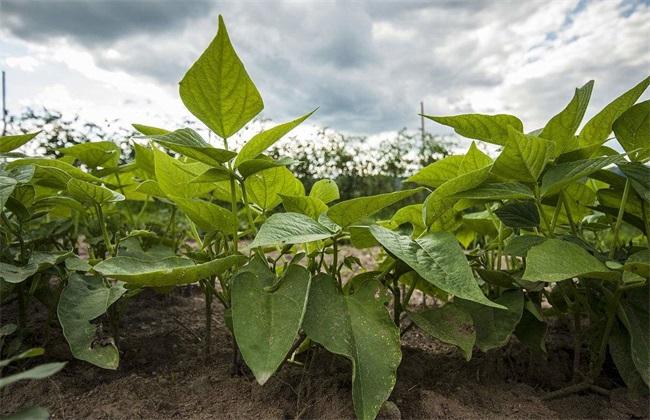 如何提高 绿豆 产量