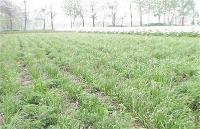 清香木盆景图片