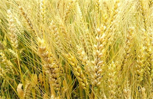 大麦 种植 方法