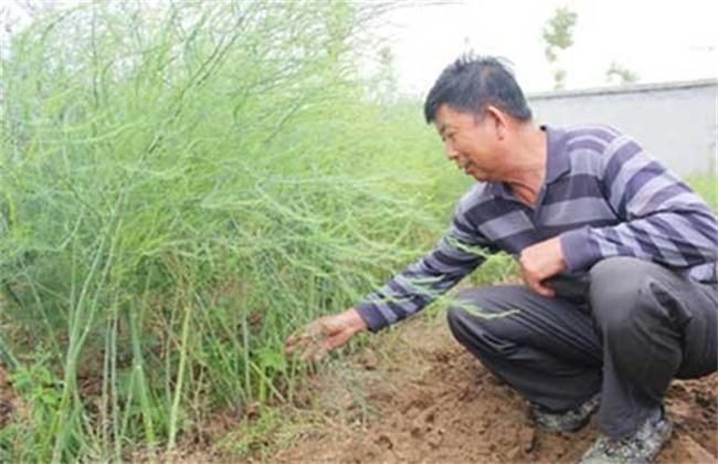 芦笋的施肥技术