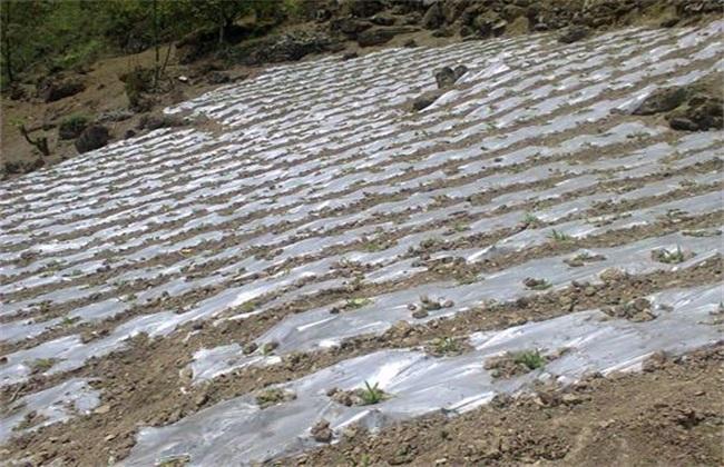 玉米 地膜覆盖 好处