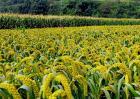 谷子的种植技术