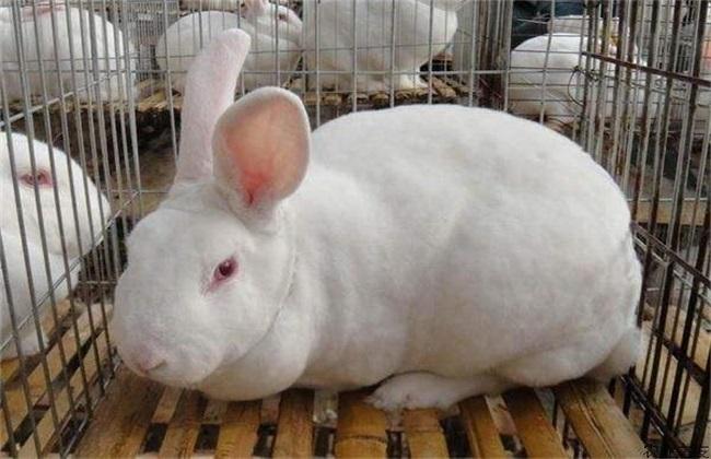 獭兔 冬季 饲养管理