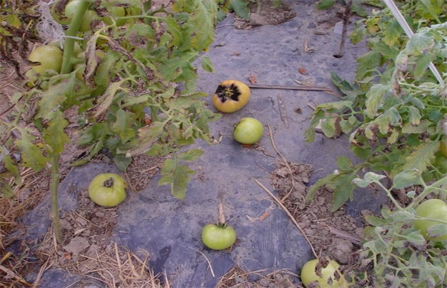 西红柿落花落果的原因