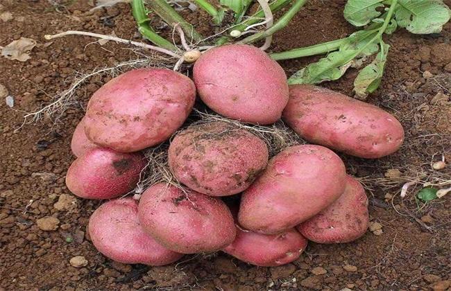 红皮土豆的种植技术