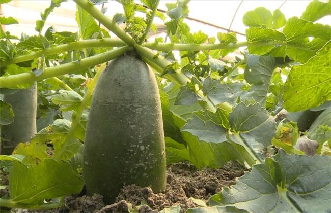 青萝卜多少钱一斤