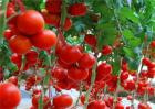 大棚西红柿冬季管理办法