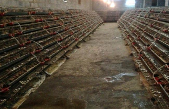 特種養殖項目:飼養鵪鶉之前需要準備哪些事情?