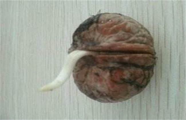 核桃种子常用的催芽方法
