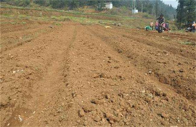 板蓝根的高产施肥技术
