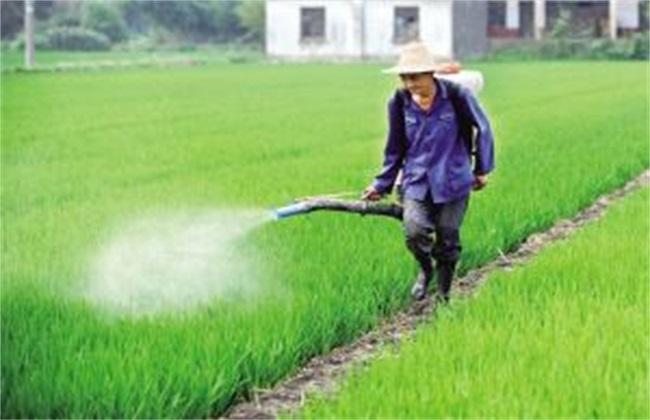 水稻除草的注意事项