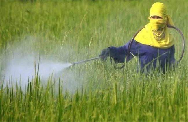 水稻 除草 注意事项