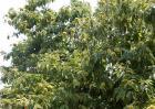 板栗树种植技术要点