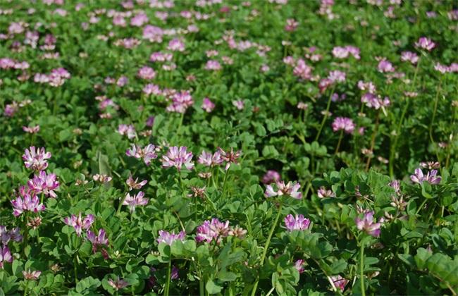 紫云英 栽培 技术