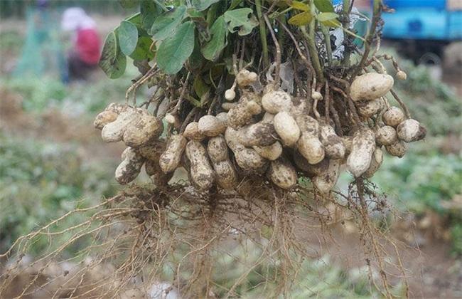 黑花生 种植 方法